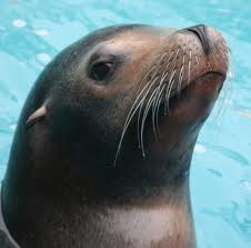 sea lion gets plastic surgery